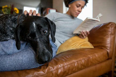 black dog resting with woman on sofa