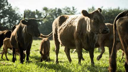 seguro de ganado